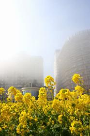 滋賀県守山なぎさ公園の菜の花畑