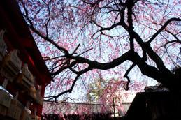 水火天満宮のしだれ桜