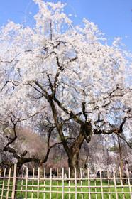 京都御苑 近衛邸跡の桜