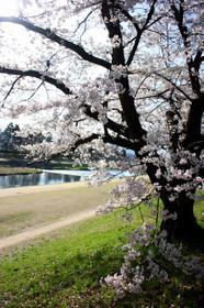賀茂川(北大路橋付近)の桜