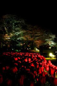 京都府立植物園のチューリップと夜桜