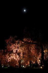 京都府立植物園の夜桜ライトアップ