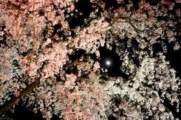 京都府立植物園・月と夜桜