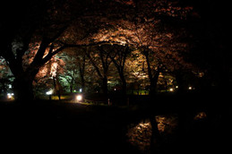 京都府立植物園夜桜ライトアップ
