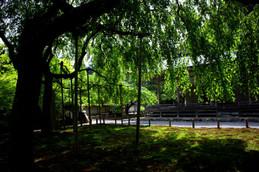 常照皇寺の九重桜