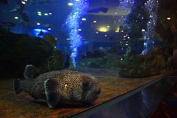 魚っ知館のハリセンボン