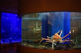 魚っ知館のタカアシガニ