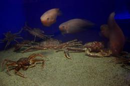 魚っ知館のズワイガニ