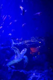 魚っ知館のウミガメ