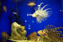 魚っ知館のミノカサゴ
