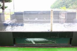 魚っ知館のゴマフアザラシ