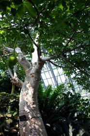 観覧温室のバオバブの木