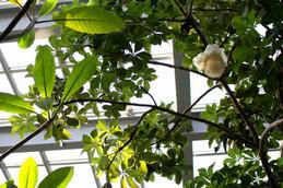 バオバブの花