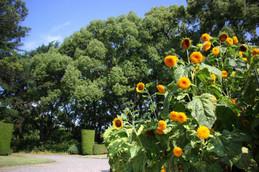 京都府立植物園のひまわり