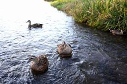 賀茂川の鴨