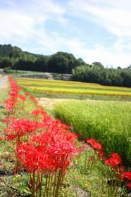 亀岡の田園と彼岸花