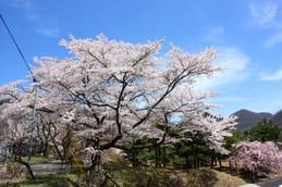 京都美山・大野ダムの桜