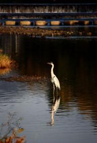 賀茂川の鳥