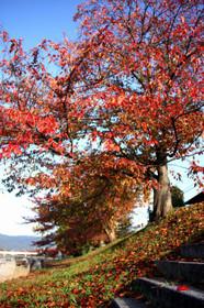 北山大橋の桜・11月