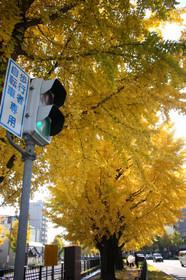 銀杏並木・堀川せせらぎ公園(2014年)