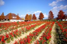 ブルーメの丘・花畑