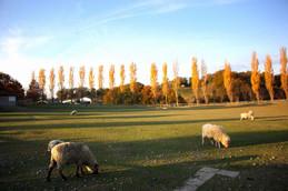 ブルーメの丘・羊の放牧