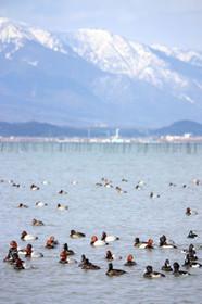 雪の比良山と水鳥たち