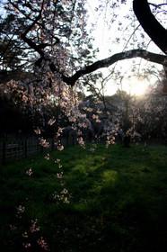 京都御苑近衛邸跡付近の桜・早朝