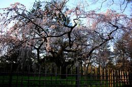 京都御苑近衛邸跡付近の桜