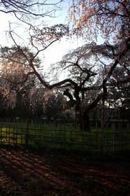 朝陽に照らされる京都御苑近衛邸跡付近の桜