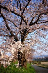 朝陽を浴びる桜