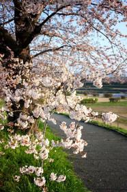 2015年賀茂川の桜・北大路橋から出雲路橋へ