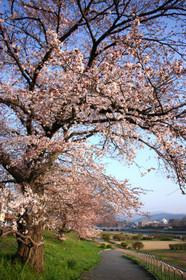2015年賀茂川の桜