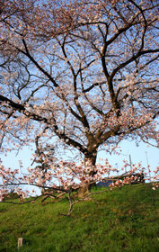 北大路橋付近の桜