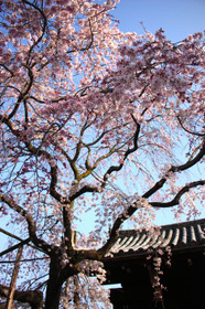 妙覚寺の桜・2015年