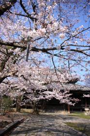 2015年立本寺(りゅうほんじ)の桜Ryuhonji05
