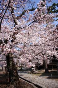 2015年立本寺の桜