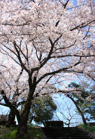 賀茂川西岸の桜、満開
