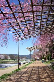 2015年半木の道の桜