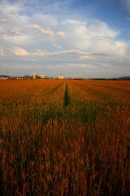 麦秋の近江八幡