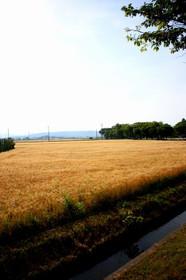 新旭の麦畑