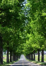 マキノのメタセコイア並木
