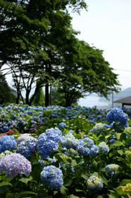 紫陽花越しの海