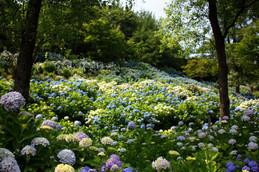 舞鶴自然文化園アジサイの海
