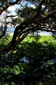 木陰から見る琵琶湖とハス