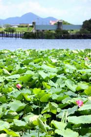 琵琶湖・水生植物公園みずの森付近のハス群生地