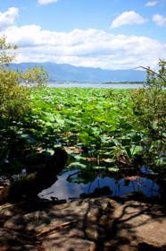 ハスの群生地から琵琶湖大橋を望む