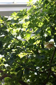 観覧温室に咲くバオバブの花