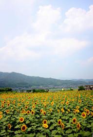 フェスティバル開催直前の与謝野町のひまわり
