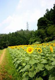 与謝野町のひまわり畑にて